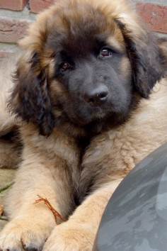 Corleone Leonberg. SO badly want one!!