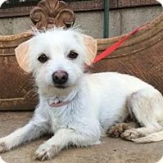 Coton de Tulear/Westie, West Highland White Terrier Mix Dog for adoption in Santa Ana, California - Charlott