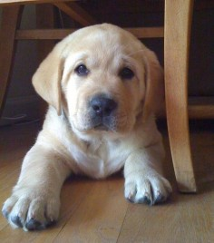 Labrador's * English Labrador Breeder * All breed Boarding and Training