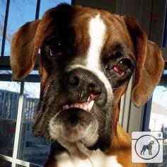 @crazi4boxers #boxergram #boxer #boxers #boxerpuppy #boxerpuppies #boxerdog #boxersofinstagram #boxerdogs #dog #dogs #puppy #puppylove #puppies #pet #pets #cute #animals #weeklyfluff #boxeraddict #boxerlove by boxergram