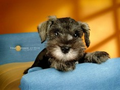 Cuddly Dogs - Miniature Schnauzer Puppy Wallpapers - Miniature Schnauzer Puppies Photos - Miniature Schnauzer Dog Wallpaper10
