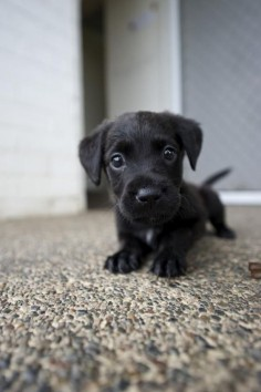 Cute Black Labrador Puppy. I may have pinned this already but who would complain about seeing this adorable face again?