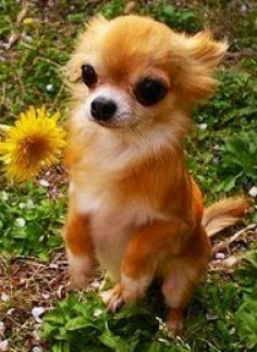 Cute Chihuahua, awww, this Chihuahua looks like my dog foxy, though we still dont know what breed of dog he is exactly. Love Your Dog? Visit our website NOW! #chihuahua #chihuahuatypes #chihuahuadogs