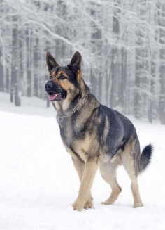 cute dog german shepherd winter