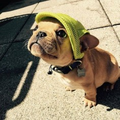 Cute Frenchie Pup