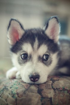 #Cute husky pup. How could you resist this face?