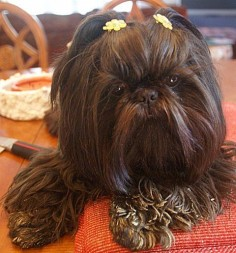 cute little ewok (shih tzu)