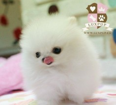 #Cute Pomeranian Puppy ♥