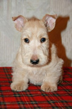Cute Scottish Terrier Puppy