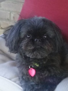 Cuteness! Black Shih Tzu