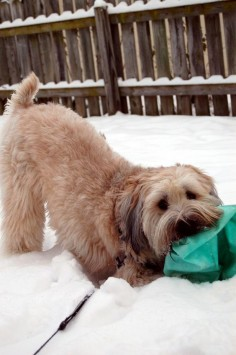cutie in the snow! Wheaton terrier
