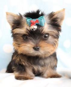 Cutie Teacup Yorkie