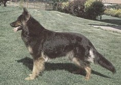 Czech German Shepherd Dogs  The Czech German Shepherd Dogs or Czchoslovakian GSD is again another distinctive type of German Shepherds that was developed from DDR
