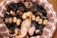 Dachshund puppies. Too much cuteness in one photo :-)