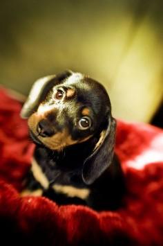 #Dachshund #Puppy | #Custom #Dog #Gifts =>