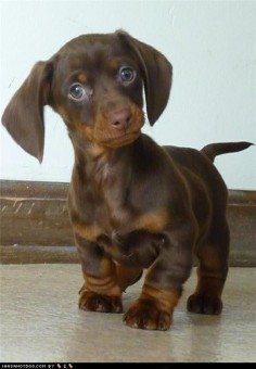 Dachshund puppy. What a face!