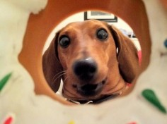 dachshund watching you