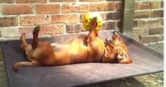 dachshund with ball