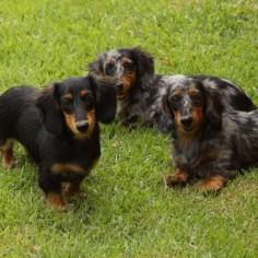 #Dacshund family at Salatino's Club #dog #salatino #clubesalatino #canil #perro #dogs #cute #love #nature #animales #cute #filhote #dachshund #teckel #golden #dachshundlonghair #dach #teckelpelolongo #filhote
