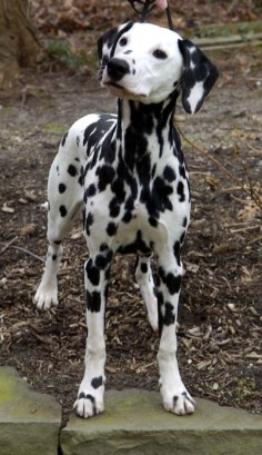 "Dalmatian breed became popular thanks to the novel ""The Hundred and One Dalmatians"" and the Budweiser beer advertisment"