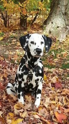 Dalmatian in