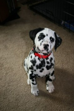 dalmatian  Adorable but Jon doesn't want a Dalmatian ): ):