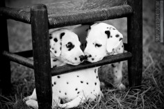 dalmatians ♥