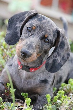 Dapple Dachshund : So Cute!!