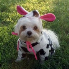 Designer, handmade Cow Farm Animal Dog Halloween Costumes for small toy breed dogs like Maltipoos, Yorkies, Maltese and Chihuahuas or pets ...