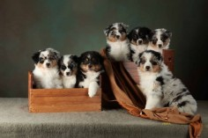Diamond Hill Australian Shepherds