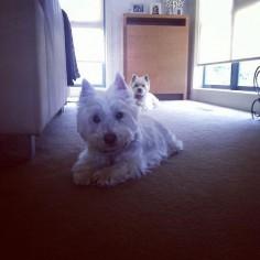 Dis me an sisfur @bbgirrrldog fur once I got da limelite. Even tho she got da sunlight! Pffft! #westhighlandwhiteterrier #westie #westiegram #westigram #dogsofig #whwt #westieapproved #westielove #westietude #westiesofinstagram #westiemoments #cutedog #cutewestie #dogsofinstagram #barkbox #pupshow #terrier #dogsofmelbourne #melbournedogs #lacyandpaws #dostagram #puppytales #instawestie #ilovemydog #melbournedogcollective by guccigirrrl