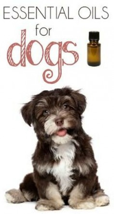 #DIY Essential Oils for Dogs #fleas #ticks #ears #health