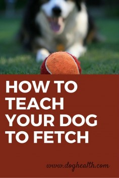 Do you have a ‪dog‬ that doesn't know how to play fetch? Doesn't like to hold toys in his mouth? Will fetch the ball but won't give it to you? Learn how to teach a dog to fetch here.