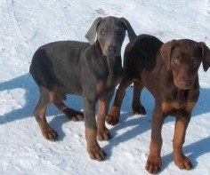 dobe puppies