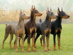 Doberman Pinschers are officially recognized in four colors: black, blue, red (brown) and isabella (fawn).  no matter the color, a Doberman always has tan points.