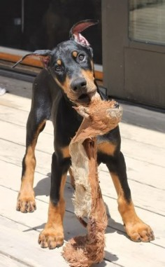 Doberman #puppy! #dobe #puppies