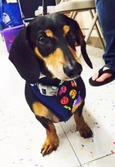 Doc Dog • Dachshund • Adult • Male • Small Rescued 'n Ready Animal Foundation Tulsa, OK