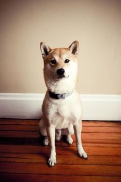 #dog #animal #shiba #inu
