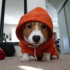 Dog Hoodie - corgi!