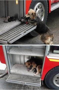 Dog saves all her puppies from a fire and puts them all in one of the fire trucks on the scene.