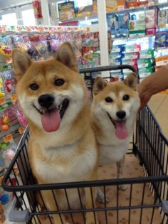 #dog #shibainu #shiba #柴犬 #cute