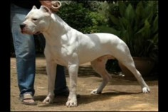Dogo Argentino - from  I want one of these one day!!!