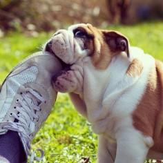 Dogs in Sneakers   BaggyBulldogs