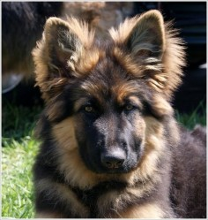Dogs: #Long-Haired #German #Shepherd puppy, from Crooked River German Shepherds,Ohio; specializes in LHGSDs. #