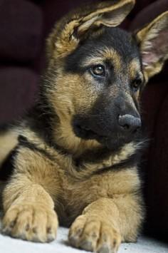 Dogs Outdoors | German Shepherd puppy