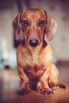 Doxie Love.  Oh it's the look, so gorgeous, it's al planned you know.  My little girl does this to me with full knowledge she is going to get her  way.