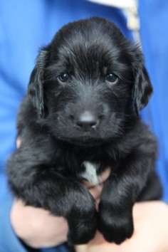 ♥DS♥ 146 (POPULAR PIN) Flat Coated Retriever Puppy