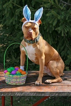 Easter Bunny Pittie