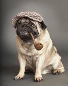 "(""Elementary, Dear Watson."" ~ Sherlock Pug) It's a Sherpug!!!!!"