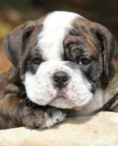 English #Bulldog #Puppy